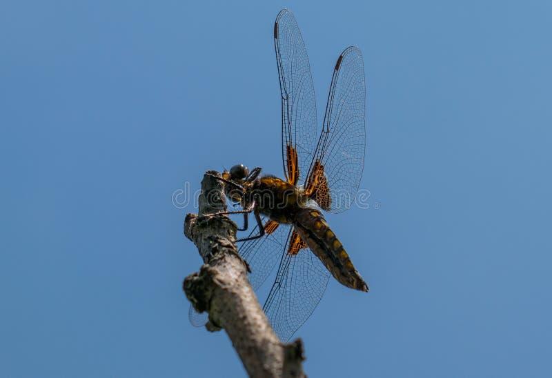 Een grote en blauwe libel treft te vliegen voorbereidingen Is van aard benieuwd stock foto's