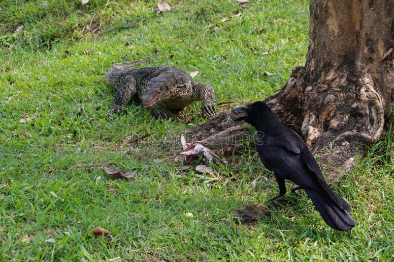 Een grote geschraapte monitorhagedis in een park in Thailand jaagt en eet een vogel op het gras Het voedsel wil de raaf stelen stock afbeeldingen