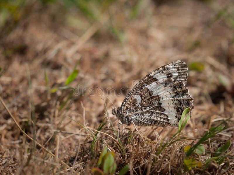 Een grote gestreepte grayling vlinder die op droog gras rusten stock foto