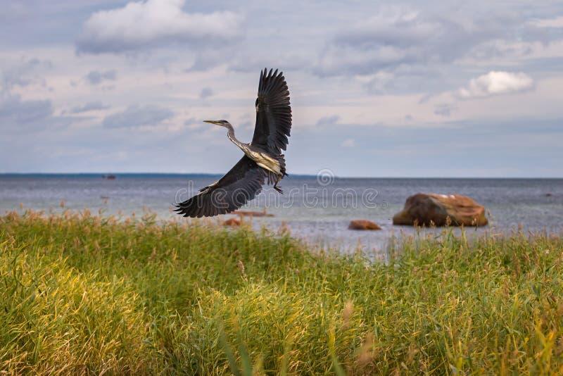 Een grote grijze reiger stijgt van het riet op de achtergrond van het overzees met grote stenen op royalty-vrije stock foto