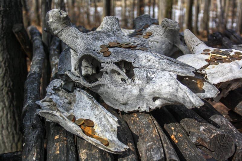 Een grote grijze schedel van een koe ligt in het bos op een houten tribune r De lente of de herfst stock foto's