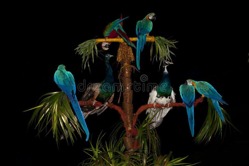 Een grote groep heldere kleurrijke circuspauwen en papegaaien op een zwarte achtergrond stock afbeelding