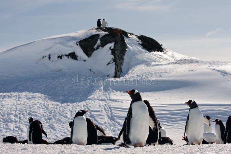 Een grote groep pinguïnen royalty-vrije stock foto's