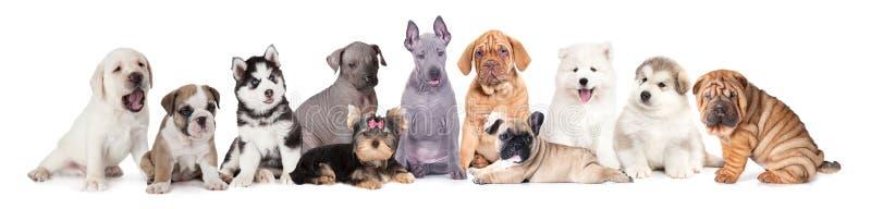 Een grote groep puppyhonden stock foto