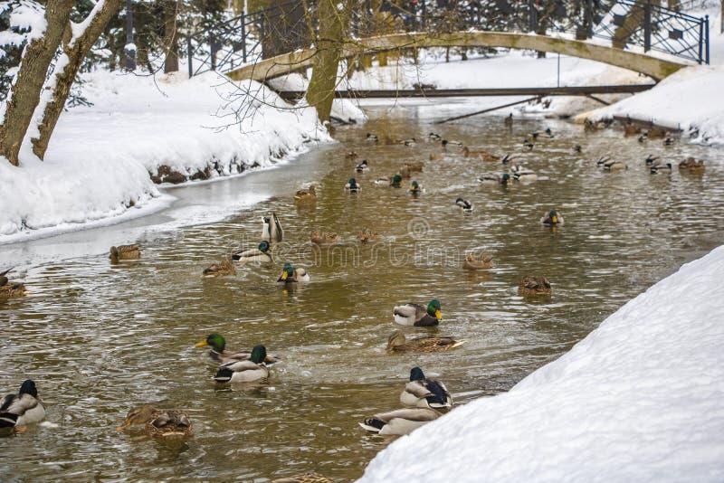 Een grote groep wilde eendeenden zwemt in het koude water van een vijver op een zonnige de winterdag in landelijk Wisconsin in de stock foto's