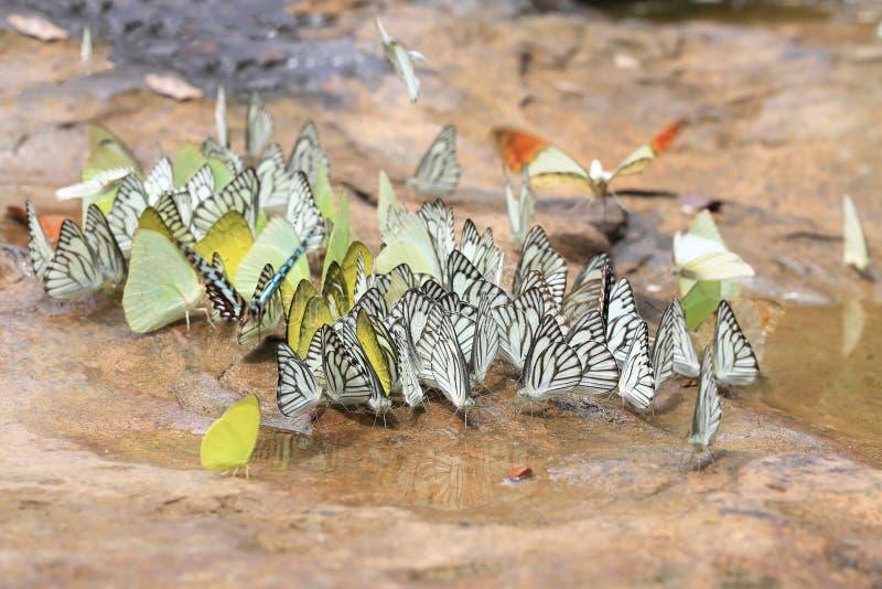 Een grote groep zwart-Geaderde Witte vlinders (Aporia-crataegi stock foto