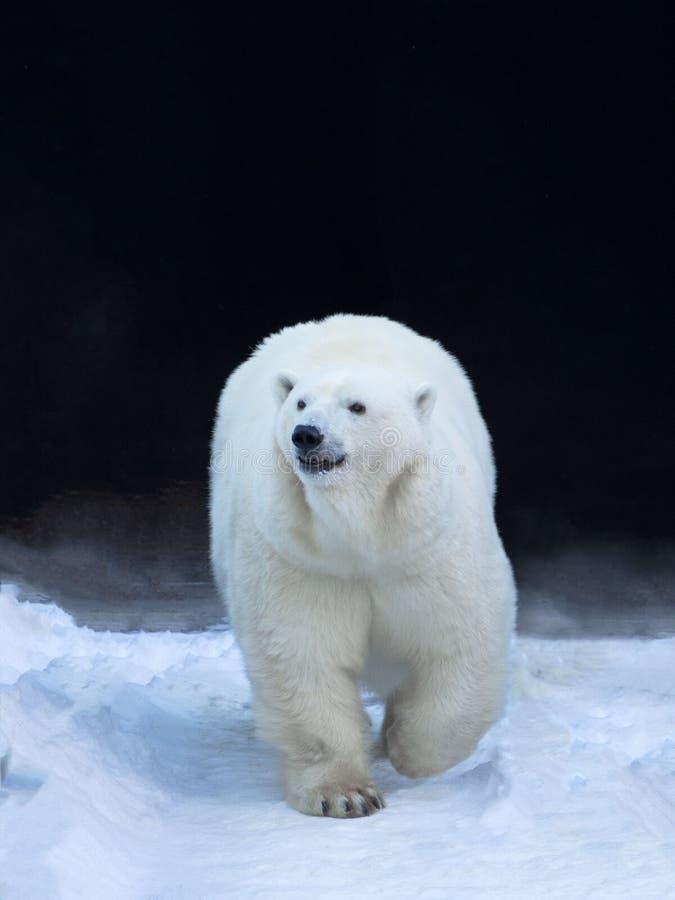 Een grote ijsbeer komt uit zijn verbergende plaats te voorschijn Krachtige lichaam en poten stock afbeelding