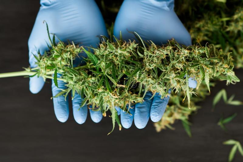 Een grote knop van verse cannabisoogst in de handen van concepten van een Artsen de medische arbeider het cultiveren groeit medis royalty-vrije stock foto
