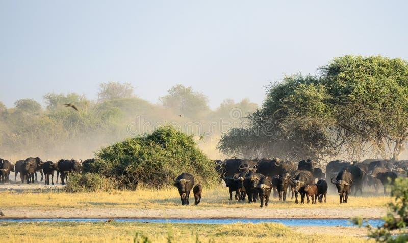 Een grote kudde Afrikaanse Buffel Syncerus die caffer een waterhole naderen stock foto's
