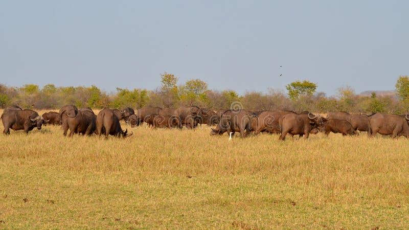 Een grote kudde van buffels stock afbeelding