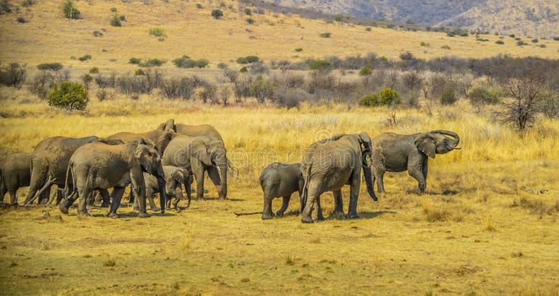 Een grote kudde van olifanten en babys die in het nationale park van Pilanesberg lopen stock afbeelding