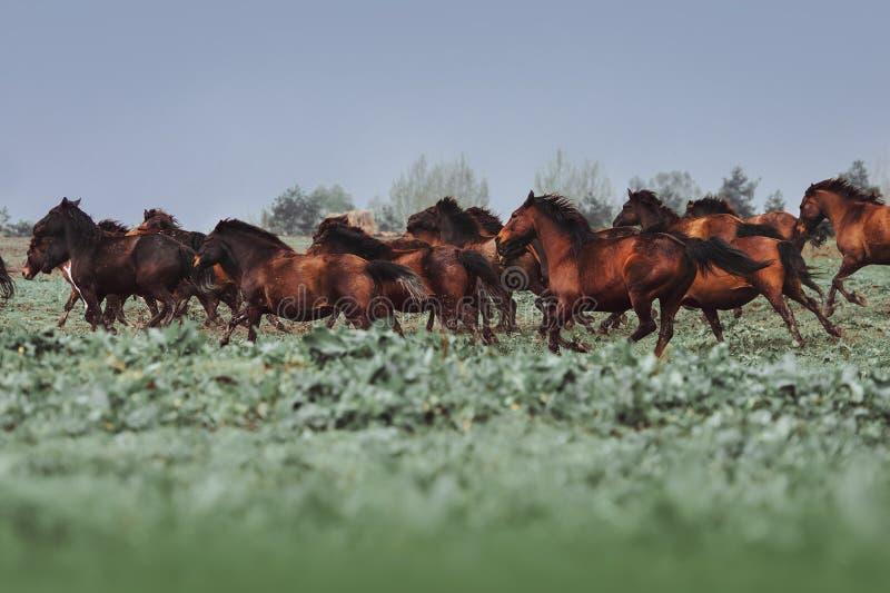 Een grote kudde van paarden van Hutsul-ras Paarden die in het gras galopperen royalty-vrije stock foto