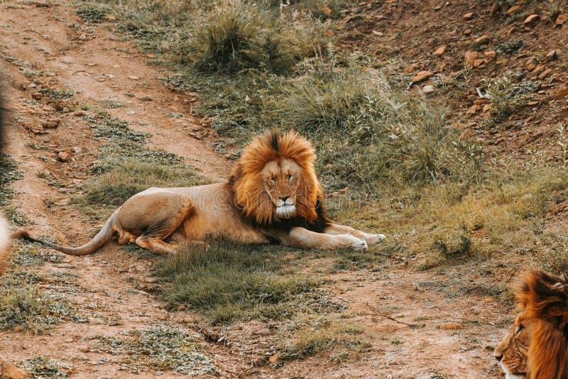 Een grote leeuw die op de grond leggen stock foto's