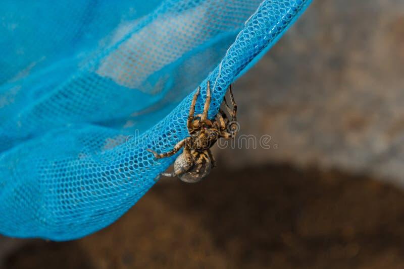 Een grote lelijke het springen spintarantula zit op een net de volwassen harige kruipende dichte omhooggaande macro van de wolfss royalty-vrije stock foto's