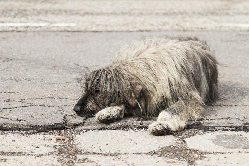 Een grote lichtgrijze ruwharige hond ligt op een asfaltweg en rust royalty-vrije stock foto