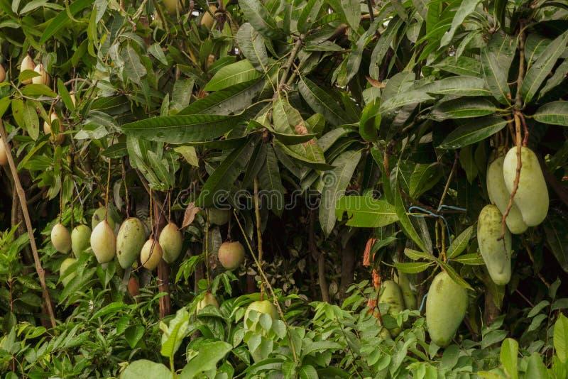 Een grote mango hangt in een mooie tuin Dit is een heerlijk fruit Mango is heel dierbaar voor alle mensen in de wereld royalty-vrije stock fotografie