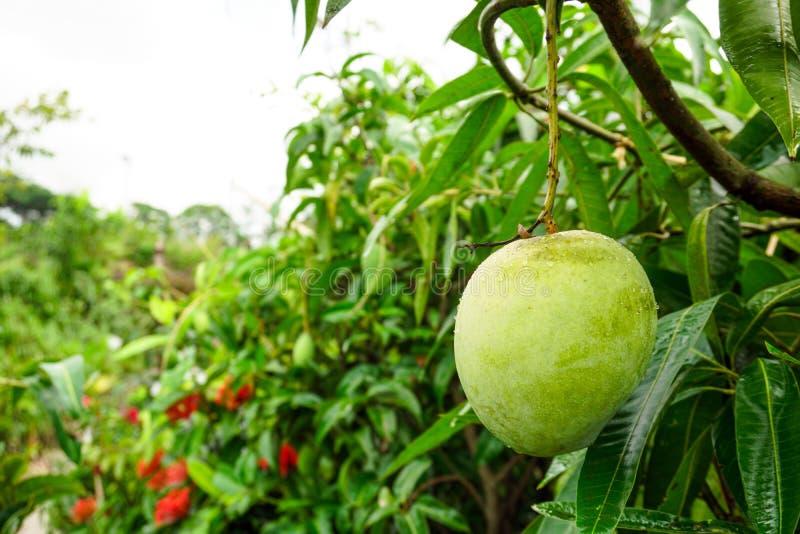 Een grote mango hangt in een mooie tuin Dit is een heerlijk fruit Mango is heel dierbaar voor alle mensen in de wereld royalty-vrije stock foto's