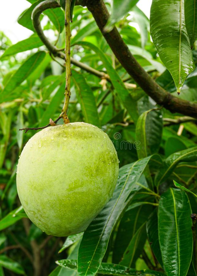 Een grote mango hangt in een mooie tuin Dit is een heerlijk fruit Mango is heel dierbaar voor alle mensen in de wereld Het is royalty-vrije stock afbeeldingen