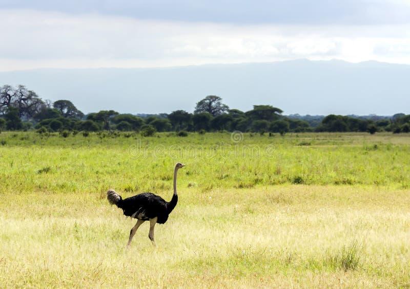 Een grote mannelijke struisvogel die in de Ngorongoro-Krater lopen royalty-vrije stock fotografie