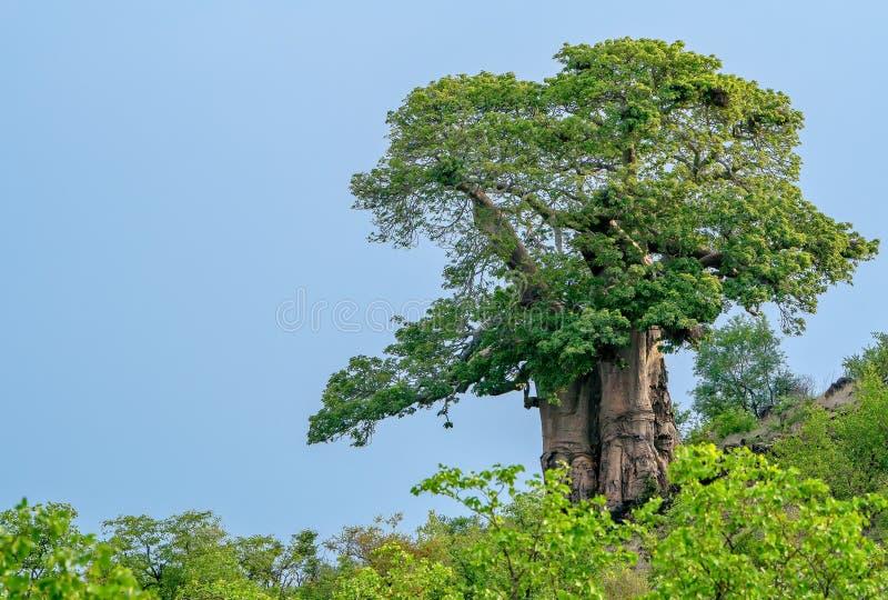 Een grote mooie baobabboom in het vroege ochtendlicht royalty-vrije stock fotografie