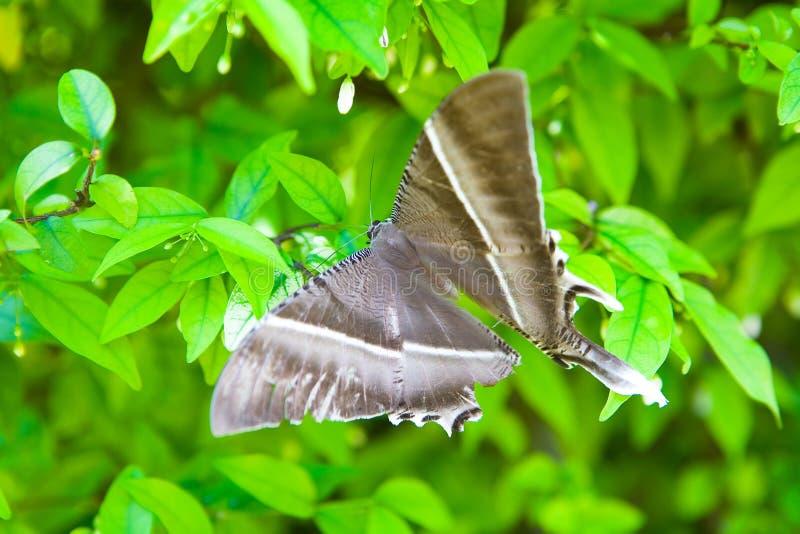 Een grote mooie vlinder met een beschadigde vleugel royalty-vrije stock foto