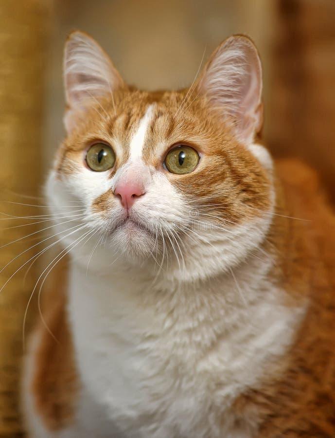 Een grote rode en witte kat royalty-vrije stock afbeelding