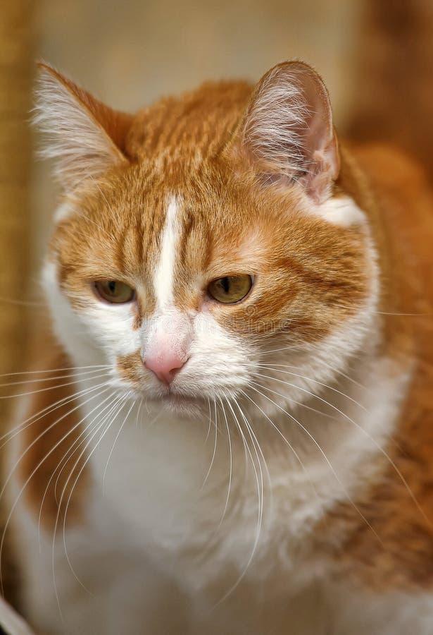 Een grote rode en witte kat stock afbeeldingen