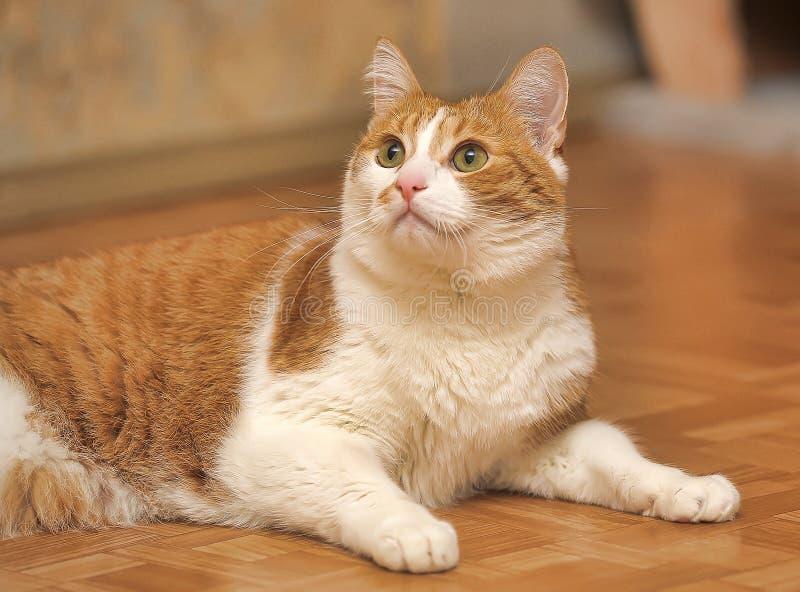 Een grote rode en witte kat stock foto's