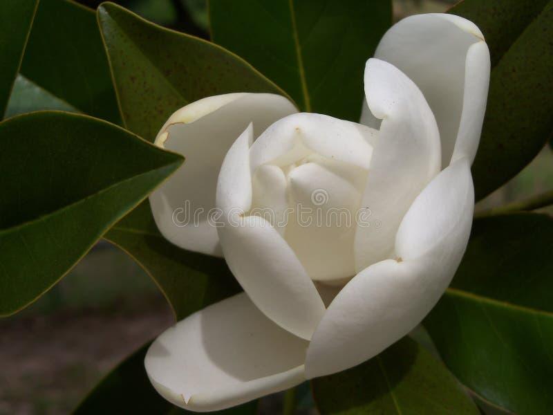 Een grote romig witte zuidelijke te openen Magnoliaknop enkel ongeveer stock afbeelding