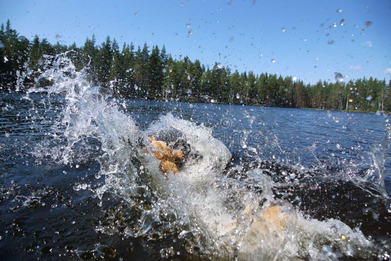 Een grote roodharige hond dook in het meer, zijn er een duikvlucht en heel wat plonsen in alle richtingen royalty-vrije stock foto