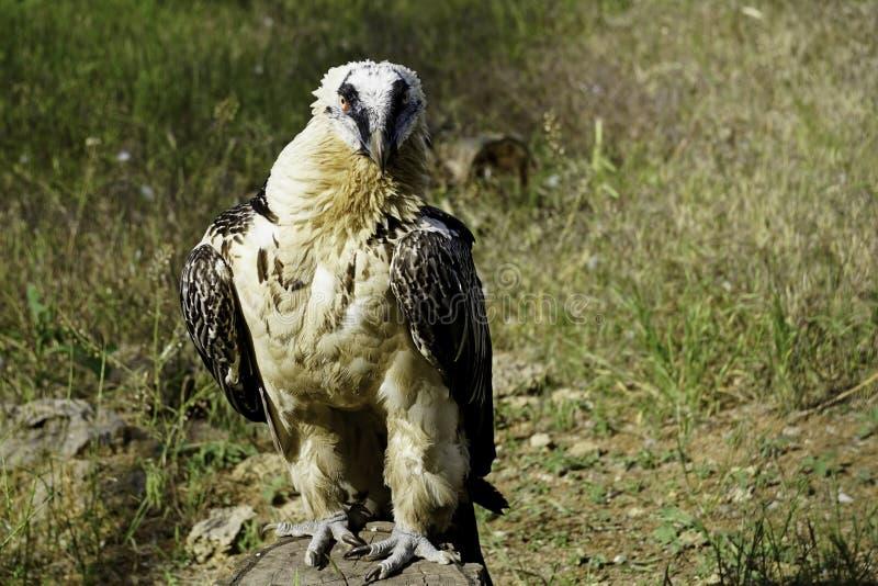 Een grote roofvogel op een groene natuurlijke achtergrond royalty-vrije stock afbeeldingen