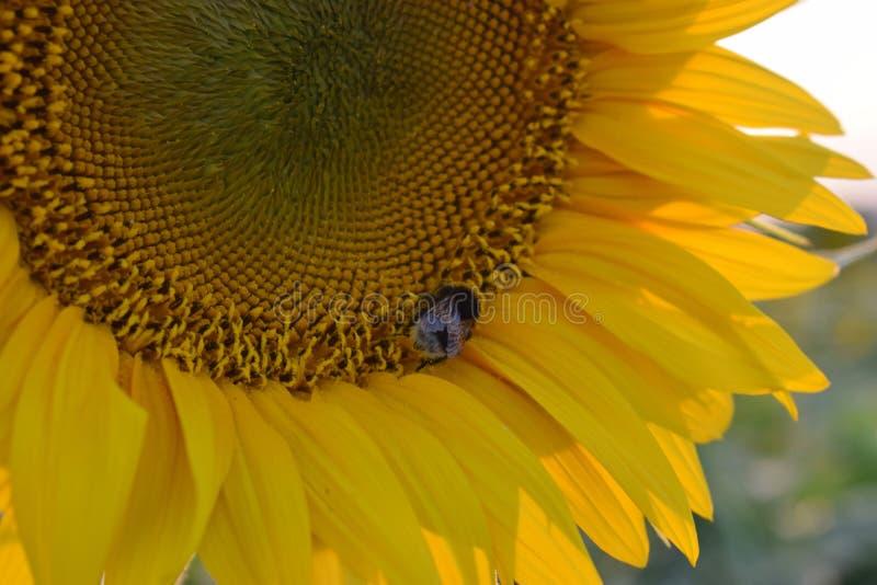 Een grote ruwharige hommel op een zonnebloem verzamelt nectar stock afbeeldingen