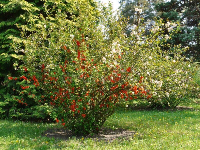Een grote struik van rode en witte bloemen die op groen gras met kleine gele paardebloemen groeien stock fotografie