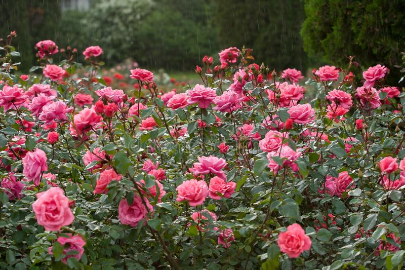 Een grote struik van roze rozen in de regen Selectieve nadruk royalty-vrije stock foto's