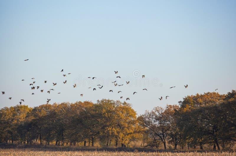 Een grote troep van kraaien vloog aan het gebied op zoek naar voedsel royalty-vrije stock afbeelding
