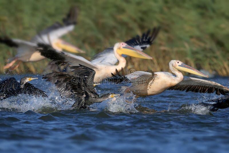 Een grote troep van witte pelikanen en aalscholvers die samen vissen vangen stock fotografie