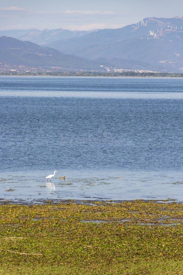 Een grote witte aigrette, gemeenschappelijke aigrette, grote witte reiger en een eend in het water van Meer Kerkini in Griekenlan royalty-vrije stock fotografie