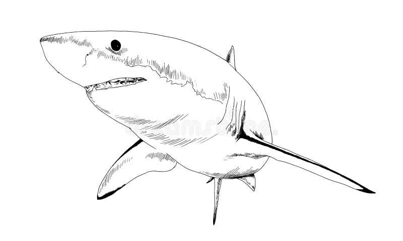 Een grote witte die haai in inkt op een witte achtergrond wordt getrokken stock afbeeldingen