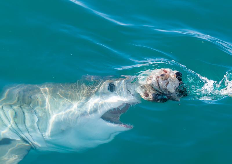 Een grote witte haai ongeveer aan oppervlakte royalty-vrije stock afbeeldingen