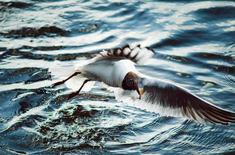 Een grote witte meeuw vangt stukken van brood in de rivier stock afbeelding