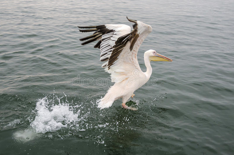 Een grote witte pelikaan stock foto