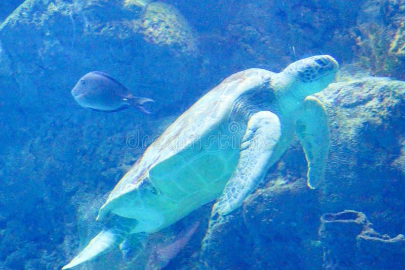 Een grote zeeschildpad zwemt stock foto