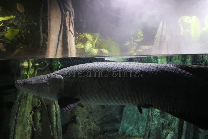Een grote zeldzame vis zwemt onderwater in een vochtig tropisch bos stock afbeelding