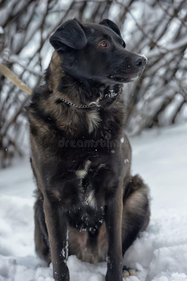 Een grote zwarte bastaarde hond stock foto's