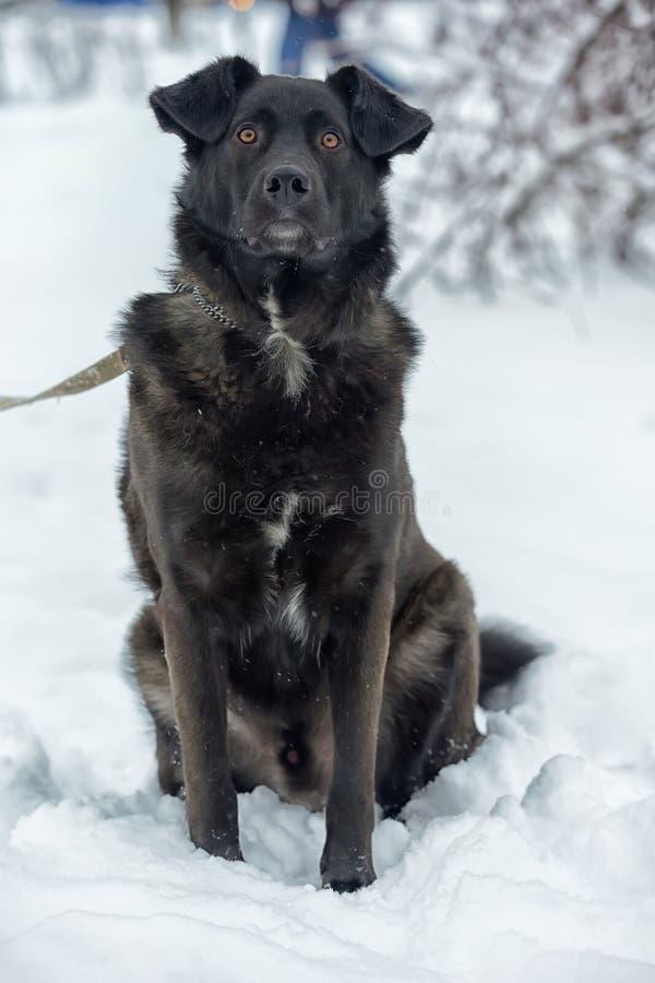 Een grote zwarte bastaarde hond royalty-vrije stock afbeeldingen