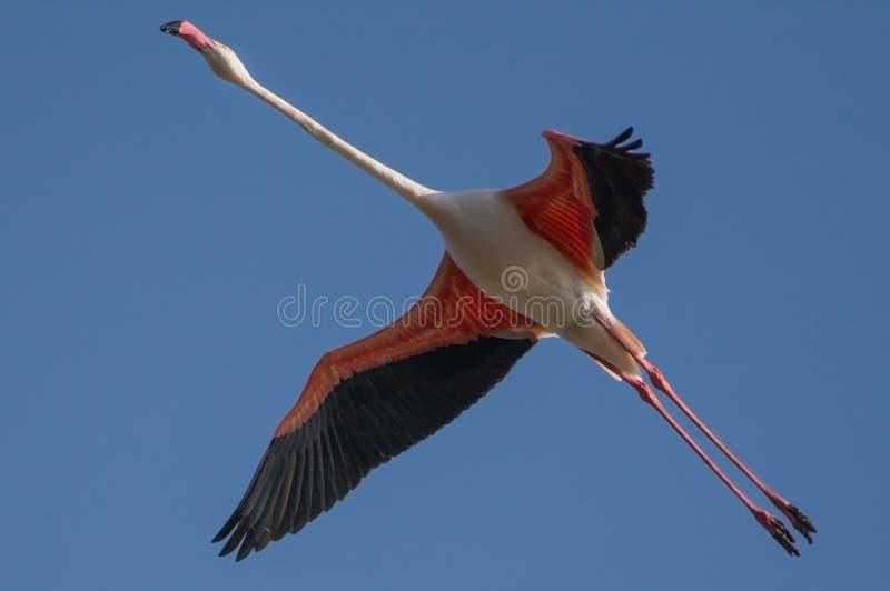 Een Grotere flamingovogel stock afbeeldingen
