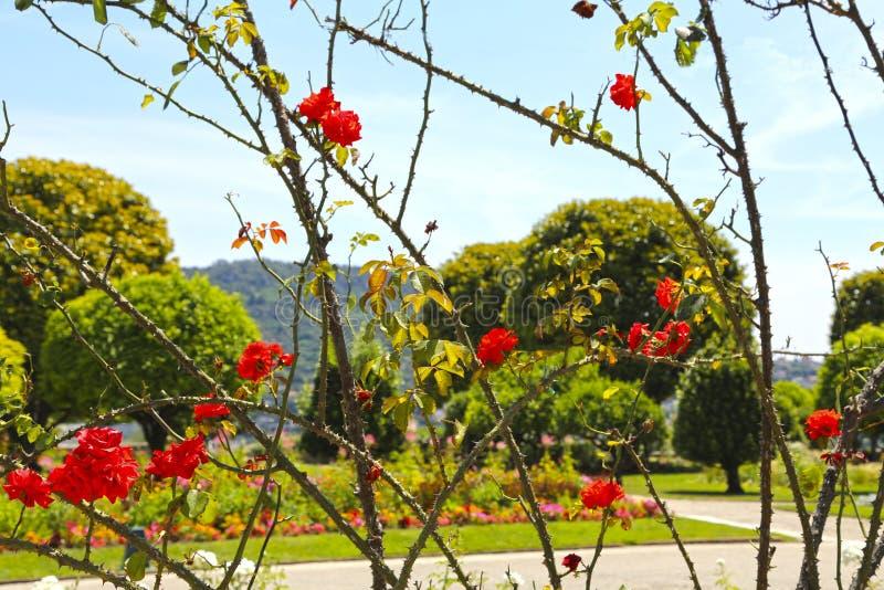 Een haag van het beklimmen van rozen in het parklandschap royalty-vrije stock foto's