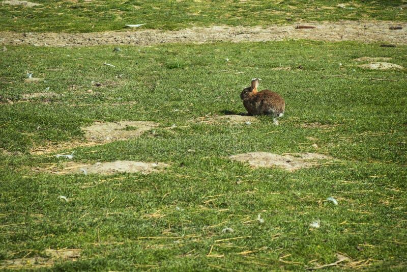 Een haas die rond een landbouwbedrijf op een zonnige dag springen Een konijn zit op het gras op een landbouwbedrijf De haas loopt stock afbeelding
