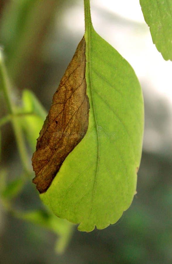 Een half droog groen blad op de installatie royalty-vrije stock fotografie