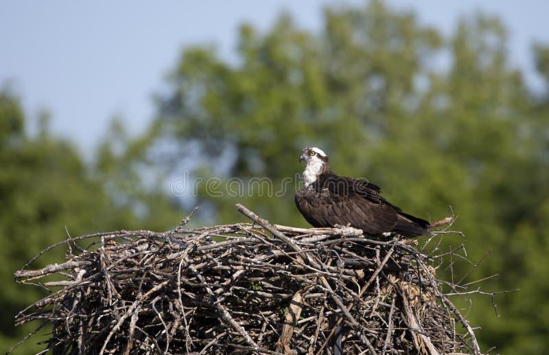 Een haliaetus van Visarendpandion op het nest die de kuikens beschermen en voor roofdieren opletten royalty-vrije stock foto